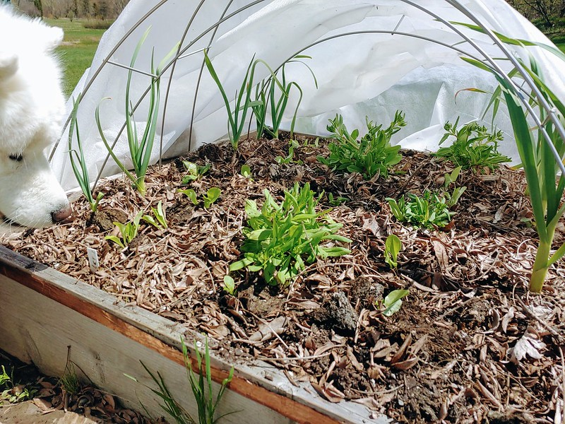 Mache & Softneck Garlic (recently planted romaine & lettuce, too) in the Hoop Tunnel
