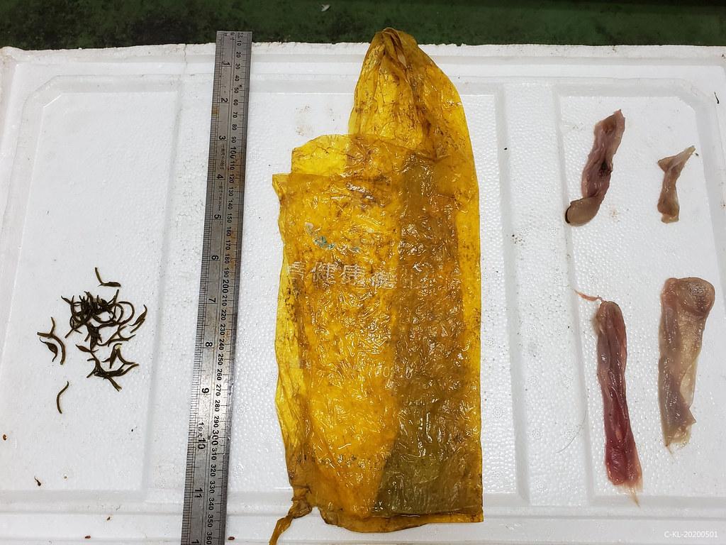 糙齒海豚死亡個體解剖後胃內發現塑膠袋一個。圖片來源:中華鯨豚協會秘書長提供。