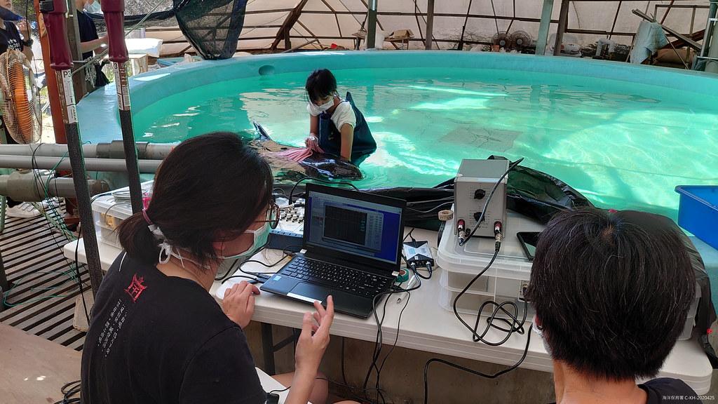 救援團隊對存活小虎鯨進行聽力測試。圖片來源:海保署提供。