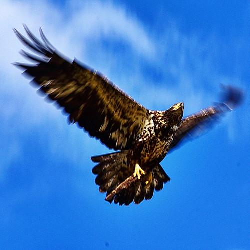 Canadian Eagle