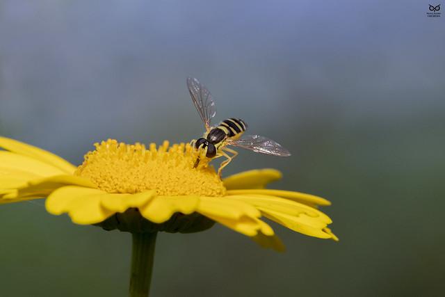 Mosca-das-flores (Sphaerophoria scripta)