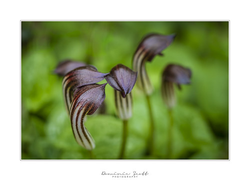 Arisarum Vulgare or Friar's Cowl | by Dominic Scott Photography