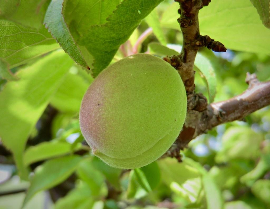 梅の実一つ One fruit of plum (Prunus mume-2) 季節だけが過ぎてゆく♡ Only the season is passing-28