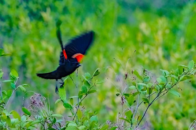 2020.05.03.4877 Red-Winged Blackbird