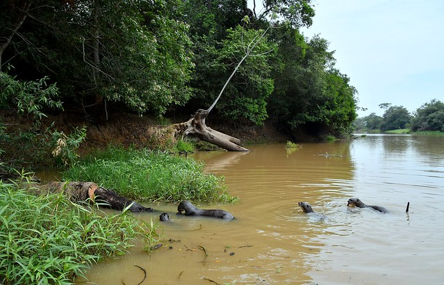 A Giant River Otter view in the Pantanal Wetlands of Brazil.
