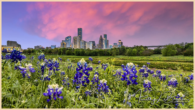 Downtown Houston Bluebonnets