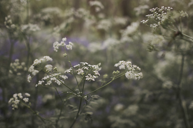 Cow Parsley in the Woods