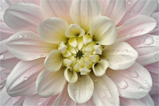 Heart of a white dahlia