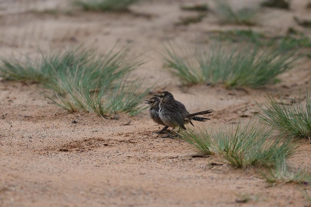 Chalk-browed Mockingbirds