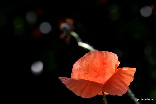 DSC_2687  illumination , backlight on poppy