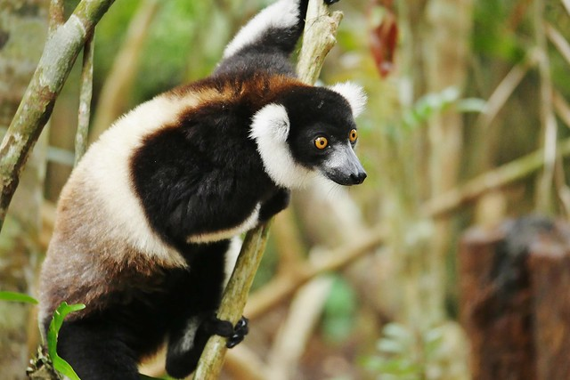 Black and White Ruffed Lemur (Varecia variegata) _