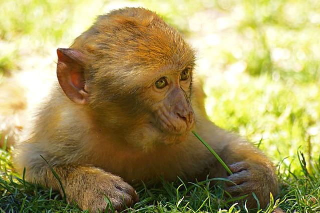 Jeune macaque de barbarie