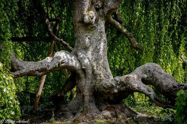 Hängebuche am Schlosspark in Eichtersheim.