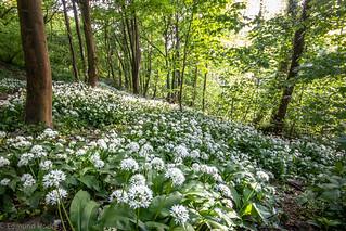 Garlic in the Hanham wood