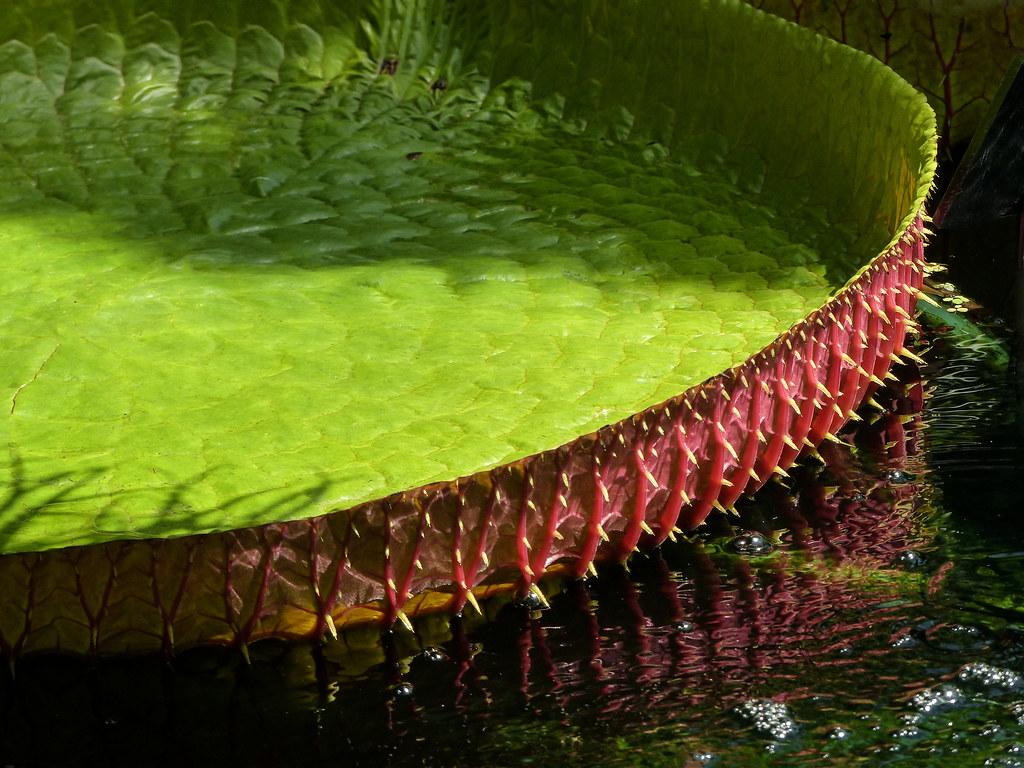 Victoria Water Lily / Victoria amazonica