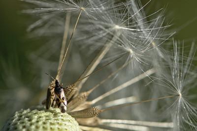 common flowerbug (Anthocoris nemorum)