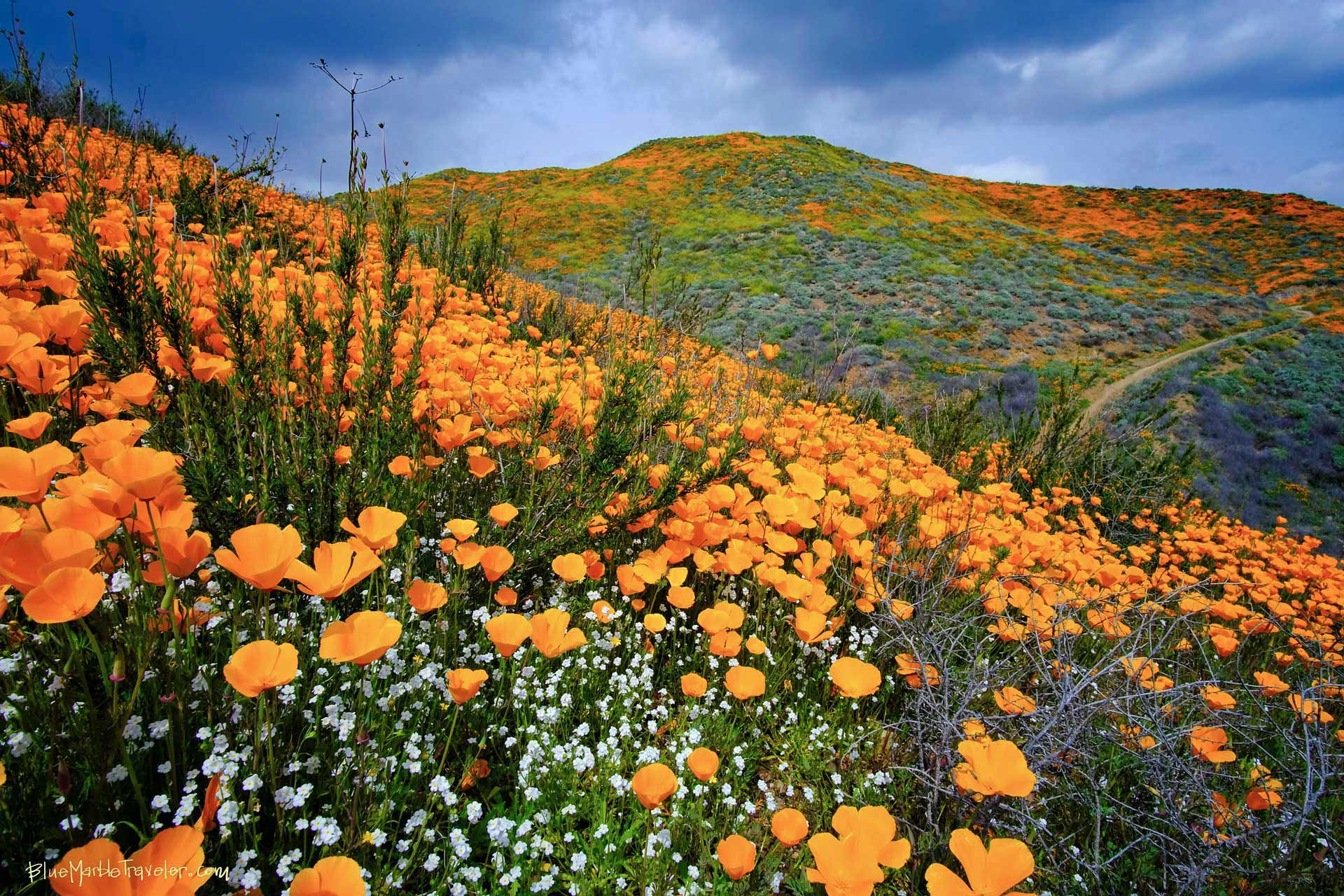 "California Poppies ""Superbloom"""