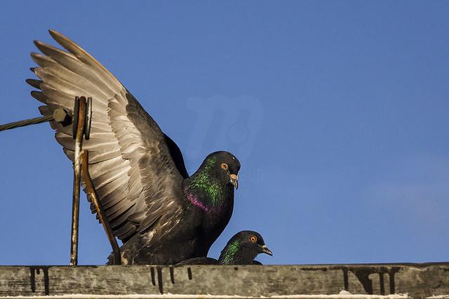 Love | Rock Pigeon | Columba livia