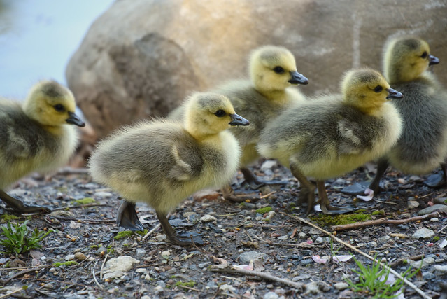 Goslings walking in the garden.