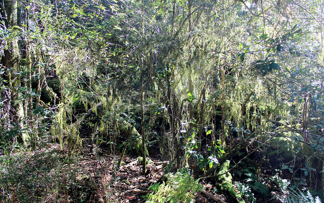 Dilgry River rainforest with Papillaria moss