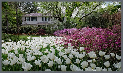 oscarpetefan fujifilm pointandshoot on1pics on1photoraw xf10 apsc bayersensor tulips flowers guilford sherwoodgardens landscape baltimore maryland
