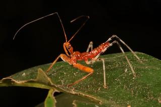 Recently Moulted Assassin Bug Nymph (Rihirbus trochantericus, Reduviidae)
