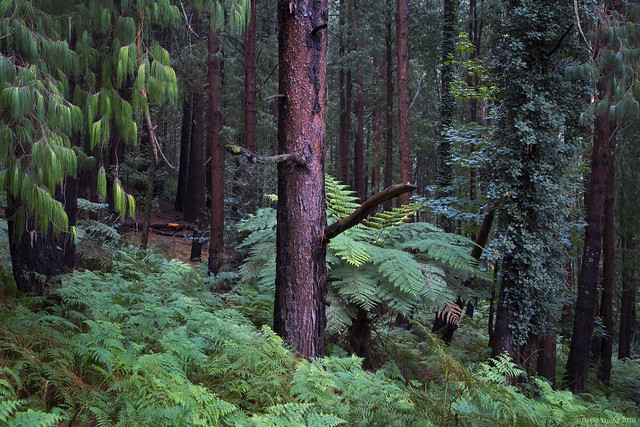 189A9223 Pine Trees