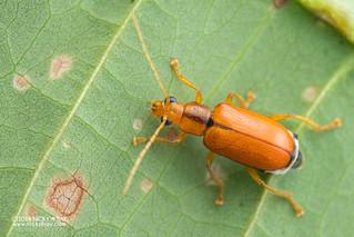 Leaf beetle (Taumacera sp.) - DSC_6289