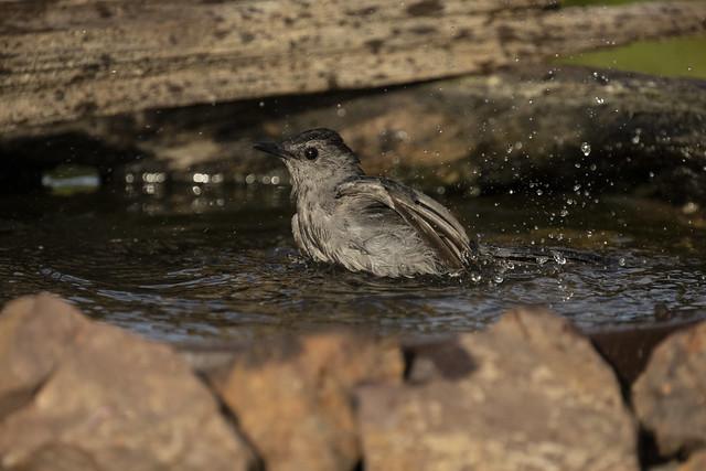 Bathing Catbird