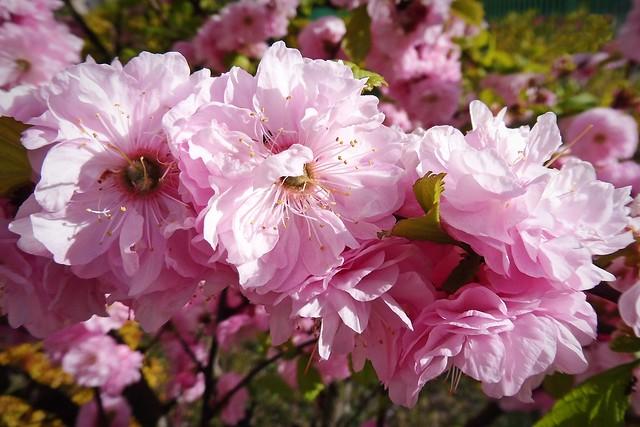pink beauties :)