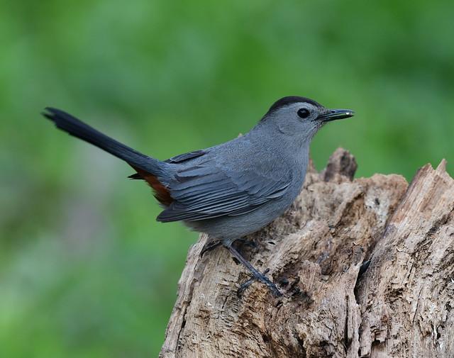 850_4520. Gray Catbird...mew...mew