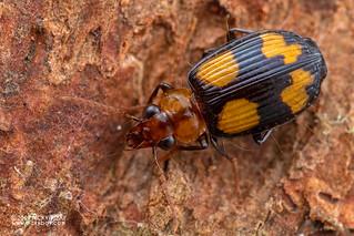 Ground beetle (cf. Coptodera sp.) - DSC_6388