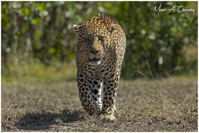 International Leopard Day!