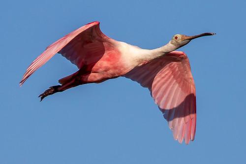 outdoor dennis adair shore nature wildlife 7dm2 7d ii ef100400mm canon florida bird ftdesoto