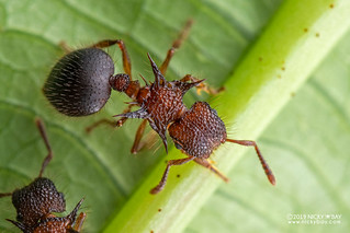 Ant (Meranoplus mucronatus) - DSC_6335
