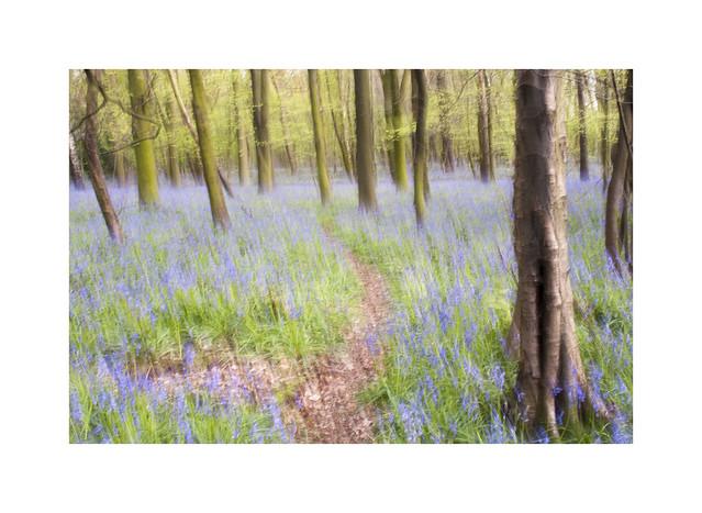 Bluebell Woodland ICM