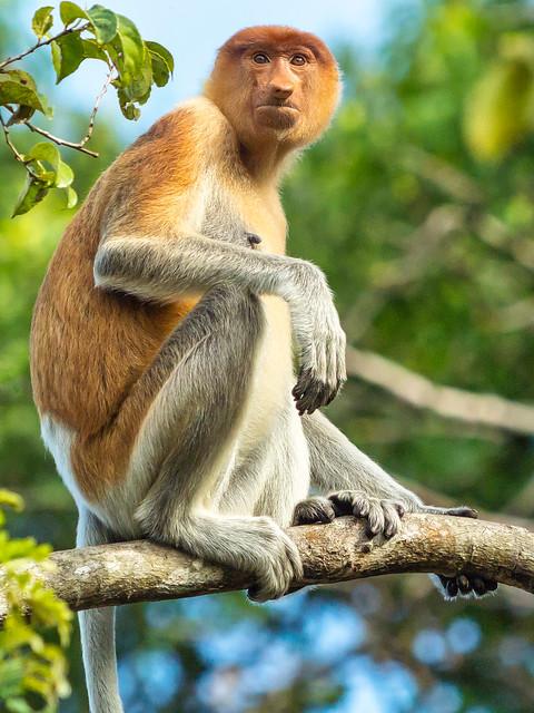 Female Proboscis Monkey Portrait