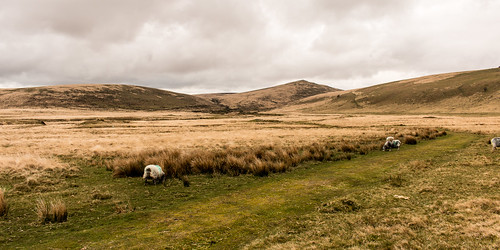 dartmoor nationalpark devon marsh tor sheep landscape