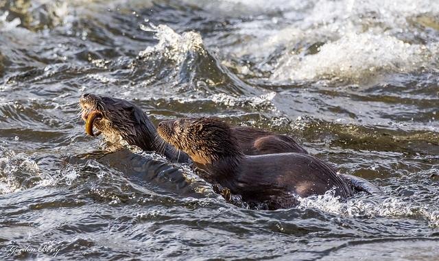 Eurasian Otter 19-Jan-20 G_008 (In Explore)