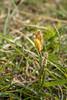 Rare Spring Sedge (Carex ericetorum) _DSF5440