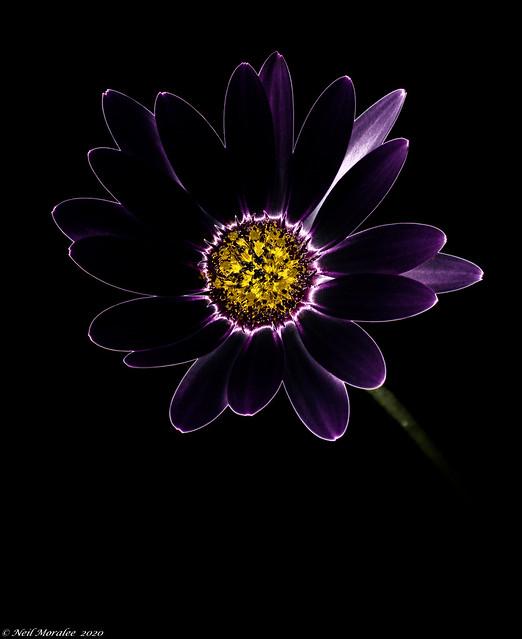 Bloom in Black