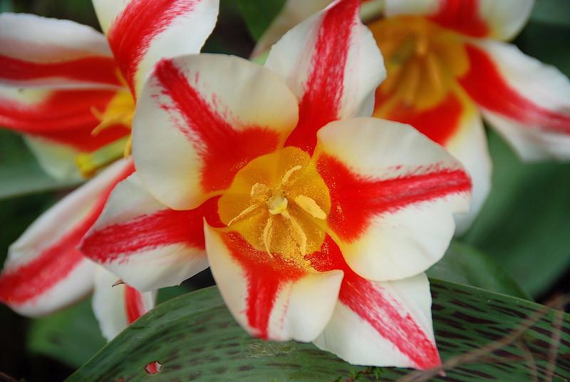 BEE-autiful Tulip Waiting for the Pollinators!