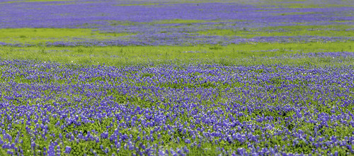 chappelhill texas usa washingtoncounty blue bluebonnets field image landscape outdoors panorama photo photograph wildflowers f63 mabrycampbell april 2020 april12020 20200401campbellh6a6343pano 200mm ¹⁄₆₄₀sec iso100 ef200mmf28liiusm