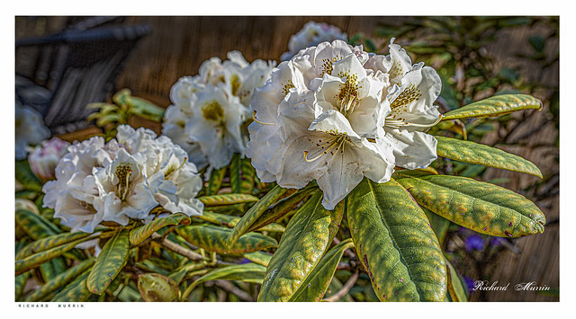 Rhododendrons out.