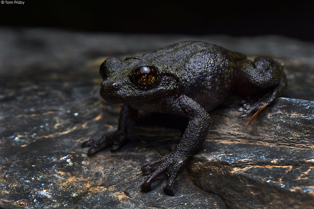 Litoria nannotis (Waterfall Frog)