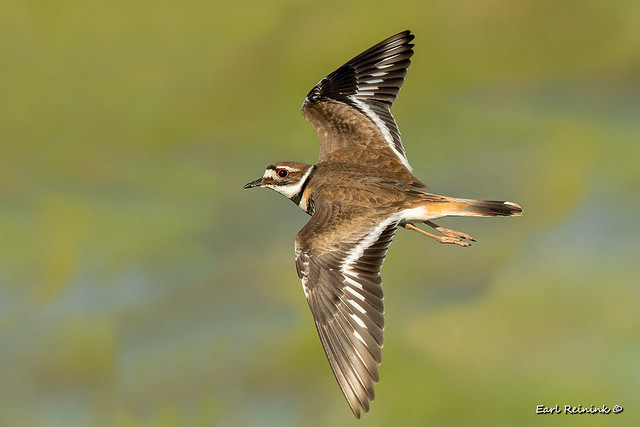 Killdeer in flight.