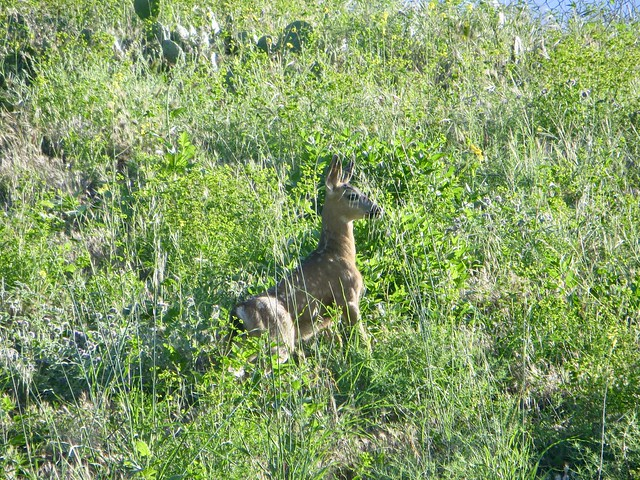 a fawn on the wildlife  trail above our house
