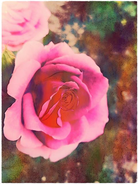 Mon amie la rose.. Confinement, 50ème jour