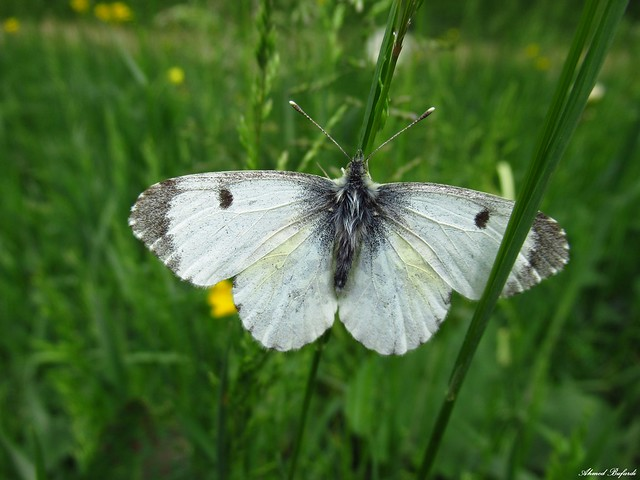 Butterfly 1963 (anthocharis cardamines)