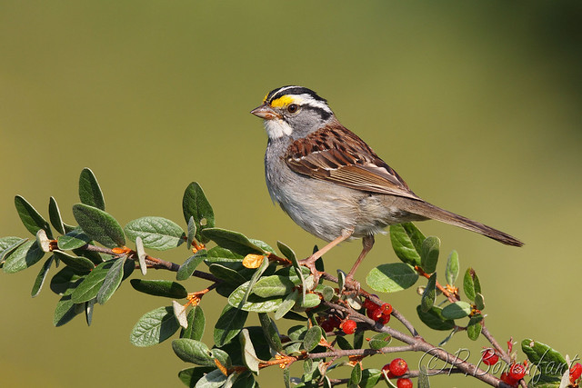 White throated sparrow - Bruant à gorge blanche
